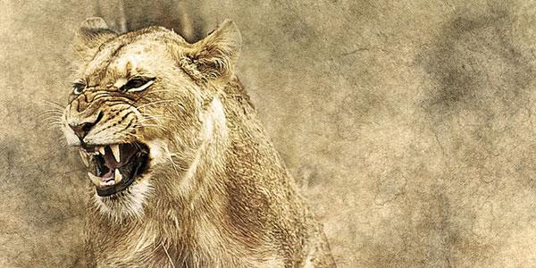 牙をむくメスのライオン